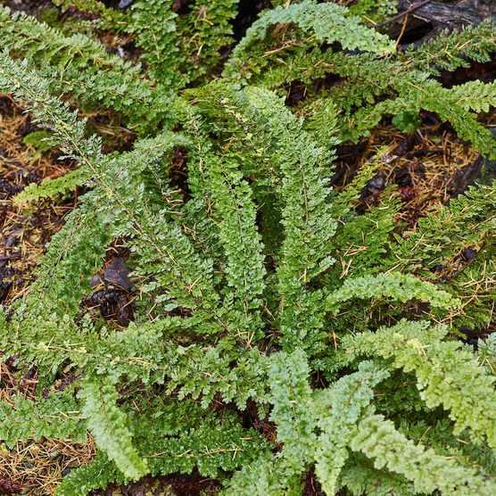 Fern: Polystichum setiferum 'Smith's Cruciate'