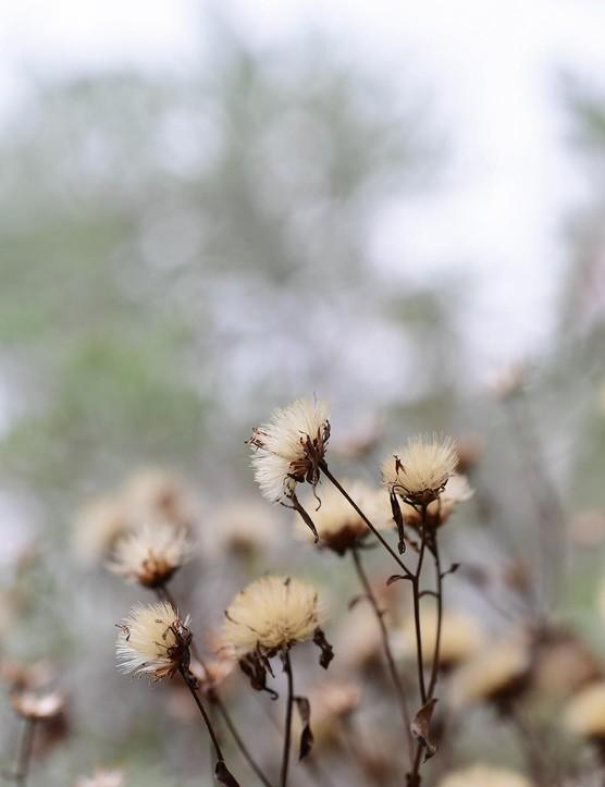 Eurybia divaricata