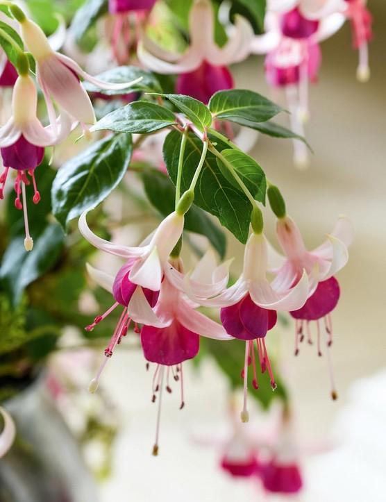 Fuchsia 'Wharfedale'