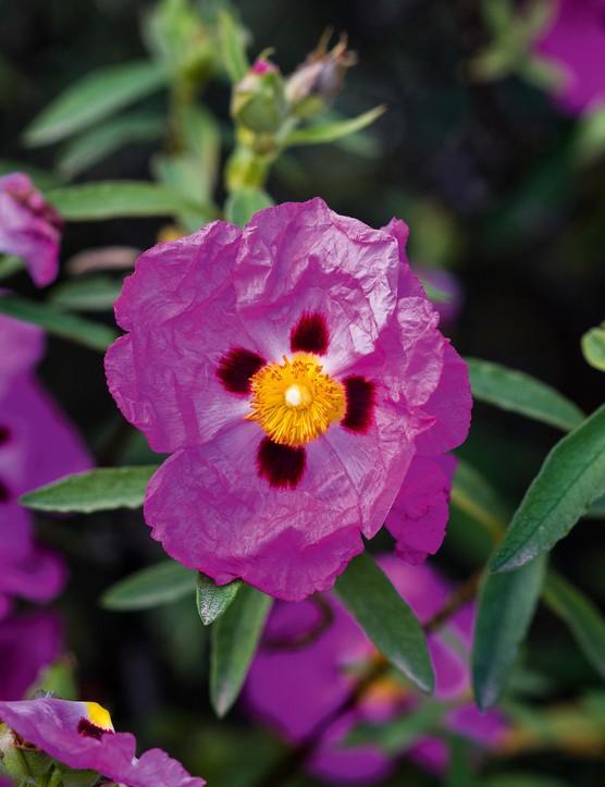 Cistus X Porphyreus 'Purple Patch'