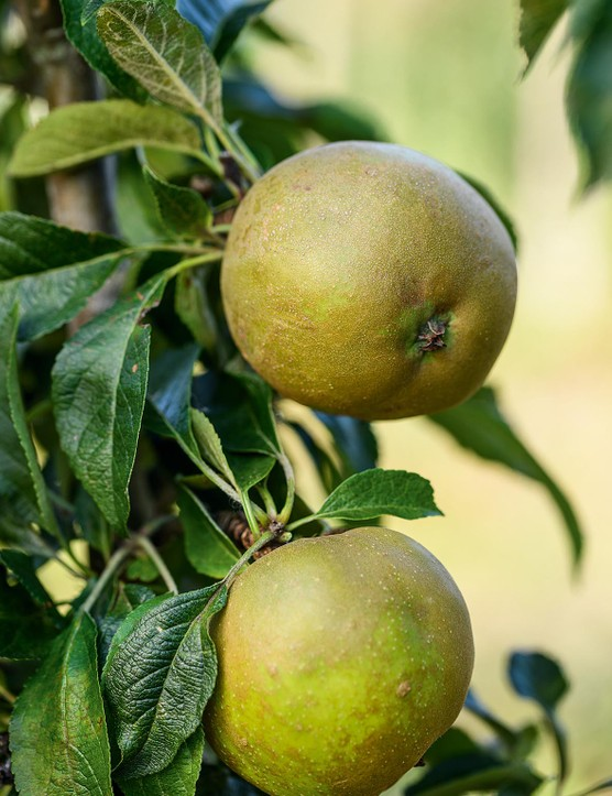 Malus domestica 'Brownlee's Russet'