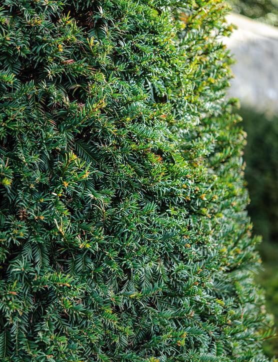 Taxus baccata English yew