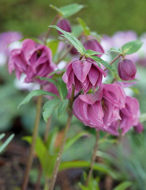Helleborus torquatus 'Party Dress'