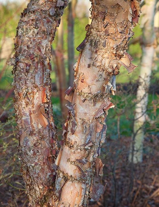 Betula nigra Heritage 'Cully'