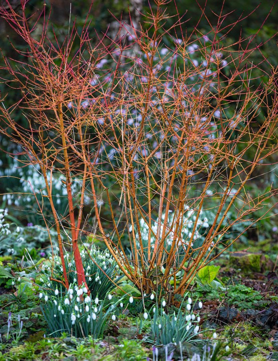This easy dogwood's orange stems are brilliant in the winter garden. Excellent in moist soil with Leucojum aestivum. 2m. RHS H6, 5a-7b.