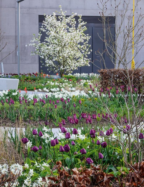 The crab apple Malus 'Evereste' offers three seasons of colour, announcing its arrival in spring with the white blossom just in time for the bulbs. Here Narcissus 'Thalia' sits among Tulipa 'Negrita' in the foreground, in the middle Tulipa 'Purple Heart' and Tulipa 'Merlot' in front of the beech hedge.