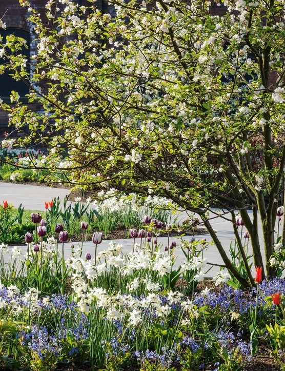 In spring the white of the blossom of Malus 'Evereste' and daffodils 'Thalia' and 'Toto' is offset by a sea of blue Omphalodes cappadocica 'Cherry Ingram', the purple and white Tulipa 'Rems Favourite' and orange T. 'Ballerina'.