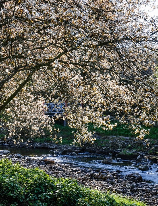 A multi-stemmed Amelanchier x lamarckii creates shade alongside the brook Artle Beck. Its delicate white blossom is much finer in flower than the cherry, and it thrives in the wet acid soils at Gresgarth. It also has very good autumn colour.