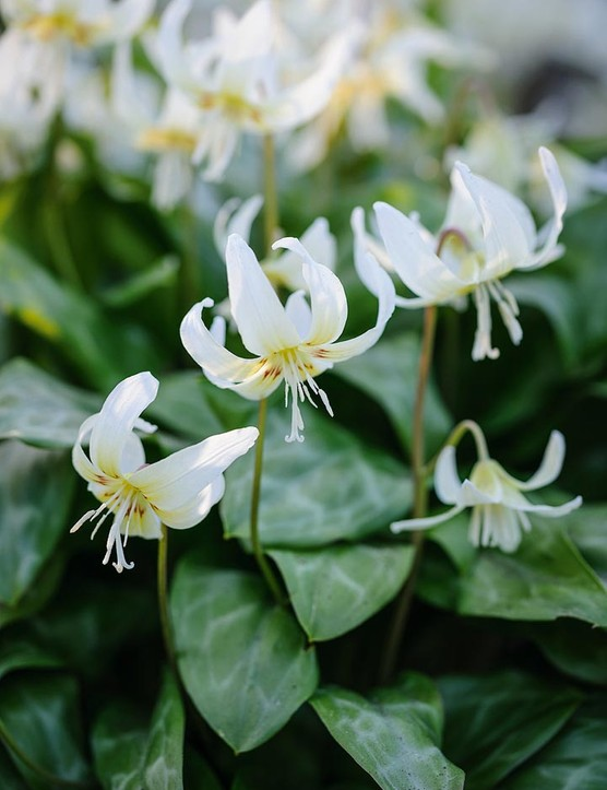 Erythronium californicum. 'White Beauty' A very popular and easily cultivated hybrid trout lily. It increases quickly in the garden, making clumps of lustrous mottled leaves and white Turk's cap flowers with yellow centres. 30cm. AGM*. RHS H5.