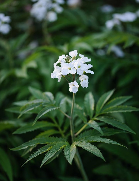 Cardamine heptaphylla. A choice early flowering woodlander that makes slowly creeping clumps of fresh-green foliage topped with loose sprays of clear-white flowers. Provide moist and humus-rich soil. 30-45cm. RHS H7.