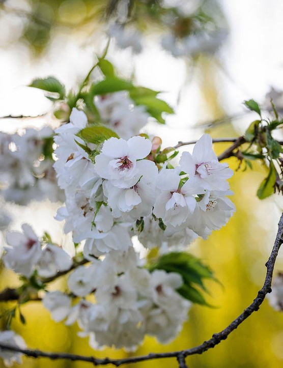 Prunus 'Shirotae'. A particularly beautiful Japanese cherry that has a spreading habit. It produces white, fragrant, single or semi-double blooms held in drooping clusters in spring. 3-4m. AGM. RHS H6, USDA 5a-7b.