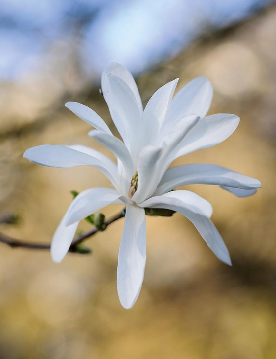 Magnolia stellata. An excellent and very floriferous magnolia that is ideal for smaller gardens. It forms a small, shrubby tree that is covered in pure-white flowers from head to toe before the foliage is produced. 3m. RHS H6, USDA 4a-8b.