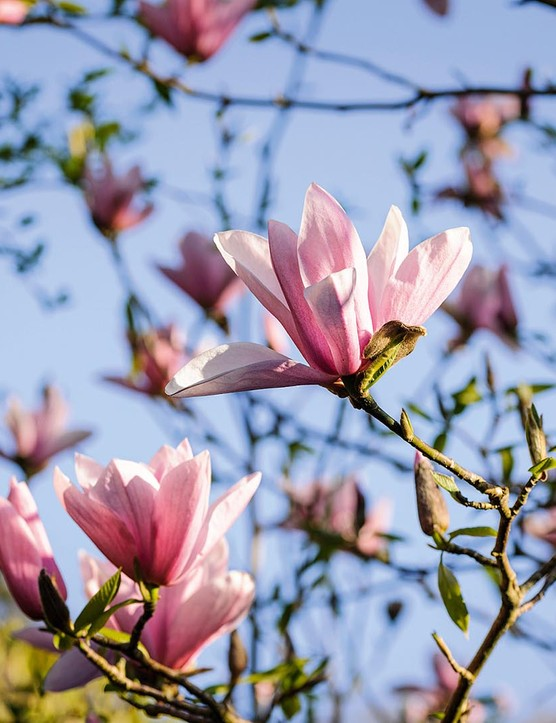 Magnolia 'Star Wars'. A recent and excellent cross between M. campbellii and M. liliiflora. It grows into a smallish tree and produces masses of pink flowers in spring just before the foliage emerges. 6m. AGM. RHS H5, USDA 5a-8b.