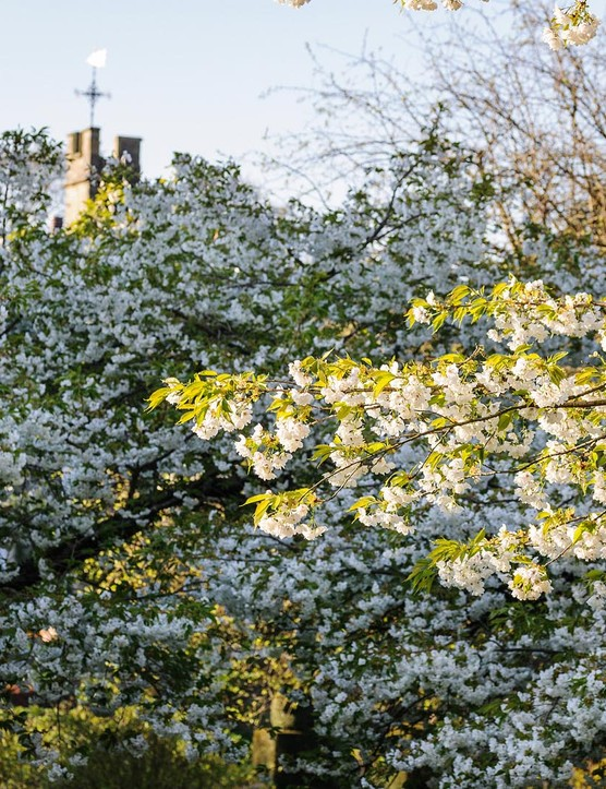 Prunus 'Tai-haku'. The tree better known as the great white cherry makes a decent-sized tree and will flower exuberantly, throwing masses of large, white flowers over the whole tree in the spring. 12m. AGM. RHS H6.