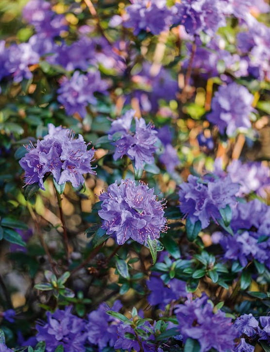 Rhododendron fastigiatum. A good dwarf rhododendron for the front of a border. It forms low mounds of evergreen blue-green foliage, atop which trusses of amethyst-blue flowers are produced in profusion. 1m. RHS H6.