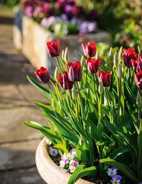 Tulipa 'Ronaldo'. A triumph tulip that is suitable for the border, containers or for cutting and is very weather resistant. The burgundy-coloured flowers are held just proud of the foliage from April to May. 40cm. RHS H6, USDA 3a-8b.