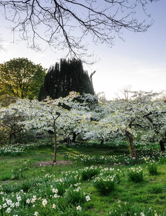 This cherry walk is planted with the great white cherry, Prunus 'Tai-haku'. It has a spreading habit and casts long branches full of pendent white blossom over the patches of predominantly white-flowered daffodils in the meadow. This area of the garden is set back from the house, and nearing the boundary the planting is more relaxed.