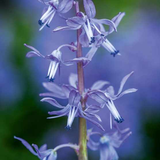 Scilla greilhuberi. S. greilhuberi comes from the Caspian forests in Iran and prefers slightly shaded conditions and moist soil in cultivation to support its lush leaves. Taller than most with nodding flowers, it suggests a relaxed bluebell. 20cm. RHS H6.