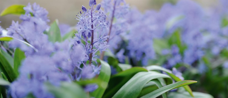 Scilla: how to care for, plant and the best garden Scilla