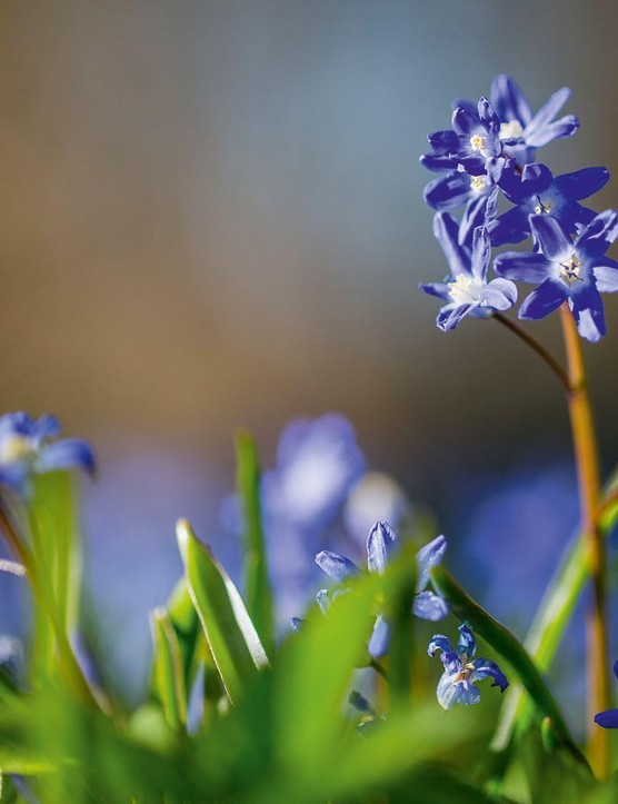 Scilla forbesii. Scatter generously through grass alongside other early flowers to create a millefiori effect through the spring. As with all bulbs, only mow once the foliage has disappeared. 10cm. RHS H6, USDA 3a-8b.