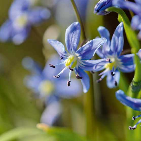 Scilla amoena. Although it has been cultivated for centuries, the wild habitat of S. amoena is unknown. Commonly known as star hyacinth, its strikingly bright-blue, star-shaped flowers appear in April. 10-20cm. RHS H6, USDA 3a-8b.