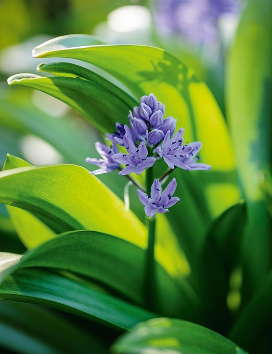 Scilla lilohyacinthus. S. liliohyacinthus has a big bulb with scales like a lily, but small flowers in blue or white produced on erect stems in late April and early May. Its rosettes of glossy, green leaves are very attractive. 25cm. RHS H6, USDA 3a-8b.