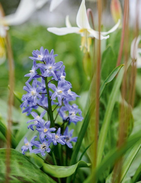 Scilla x allenii. S. bifolia often hybridises with the former Chionodoxa species, giving intermediates. Formerly called x Chionoscilla, since the genera were united such plants are known as Scilla x allenii. 12.5cm. RHS H6.