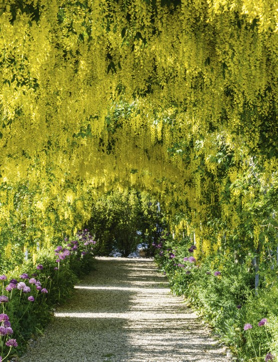 Running down the spine of the walled garden is the Laburnum Walk. The cultivar used is the hybrid Laburnum x watereri 'Vossii', which has pendent racemes to 60cm long. The plants are trained on simple iron arches and form a tunnel. When in flower it is a Mecca for pollinators, and hums with the sound of bees working the blooms.