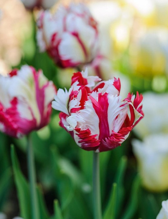 Tulipa 'Estella Rijnveld' One of the best of the Parrot tulips, the petals exuberantly ruffled in red and white. Raised in the Netherlands in 1954 by Dr de Mol and named after his wife. Flowers in May. 55cm. RHS H6, USDA 3a-8b.