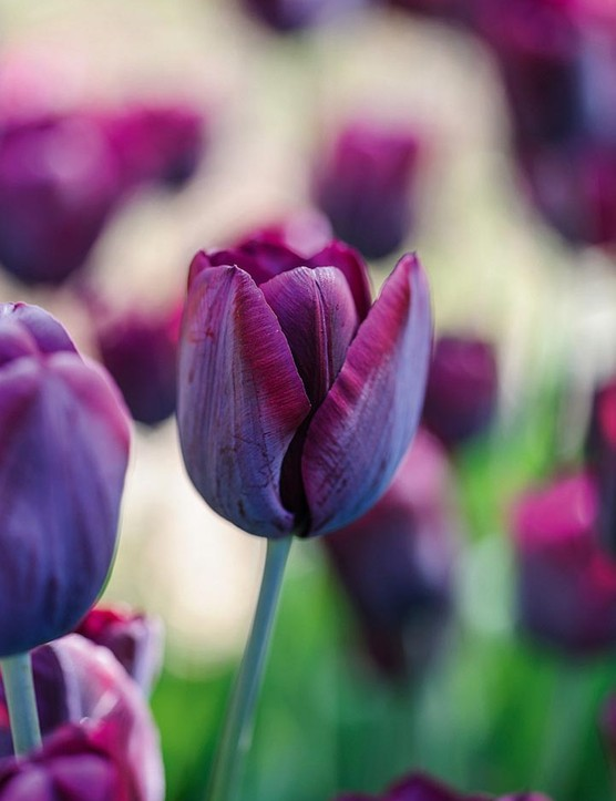 Tulipa 'Ronaldo' The beauty of this Triumph tulip lies in the complex, greyish bloom on the outside of the huge, rounded deep crimson petals. It makes a handsome, squareish flower that blooms in mid-April. 50cm. RHS H6, USDA 3a-8b.
