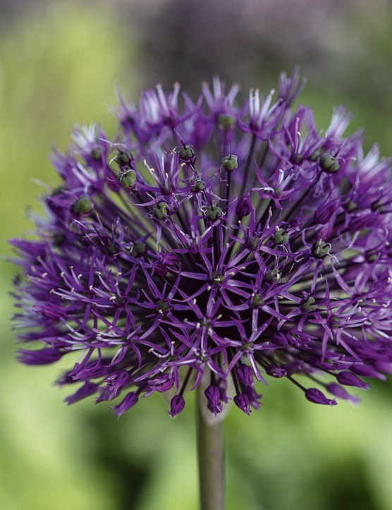 Allium hollandicum 'Purple Sensation' An allium popular with both gardeners and bees. Their densely packed umbels of deep violet, star-shaped flowers appear in early summer above strap-shaped grey-green leaves. 1m. AGM*. RHS H6, USDA 4a-9b.