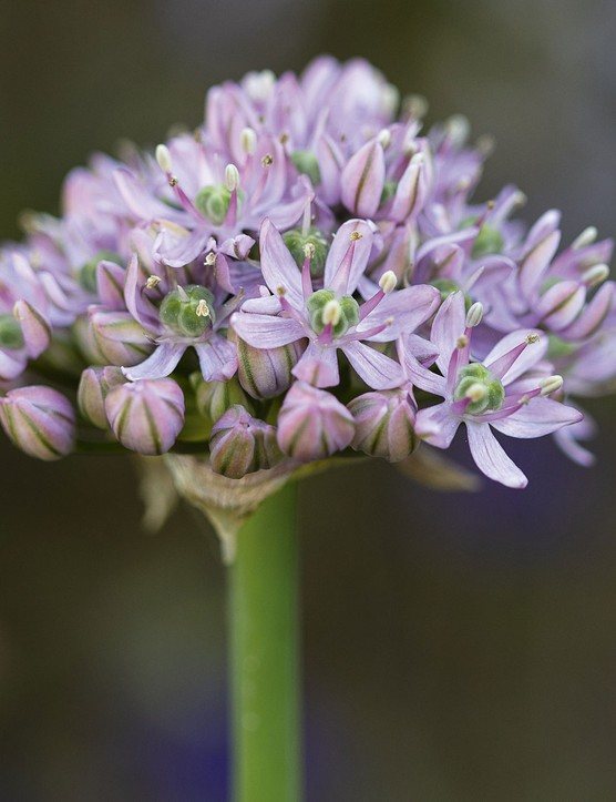 Allium decipiens Native to Central Asia and China the flowerhead is a lilac-pink semi ball of star-shaped flowers. An easily sourced bulb that likes sunny borders and is great in pots with tulips and wallflowers. 45cm.