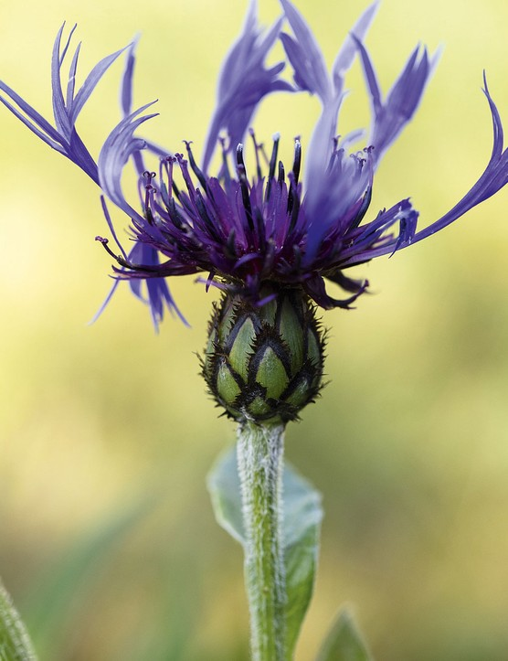 Centaurea montanaA clump-forming wildflower with unique lacy flowers in late spring, in vivid blue, or various mauves and white. Needs to be cut constantly, just before flowers open fully, if you want it to flower all summer. Propagate by seed or division. 50cm. USDA 3a-8b.