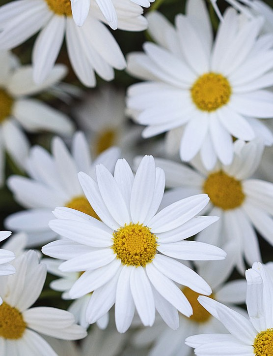 Leucanthemum vulgare Great for pollinators, the oxeye daisy is easily grown from seed, and if sown in the open germinates readily in both spring and autumn. 90cm. USDA 3a-8b.