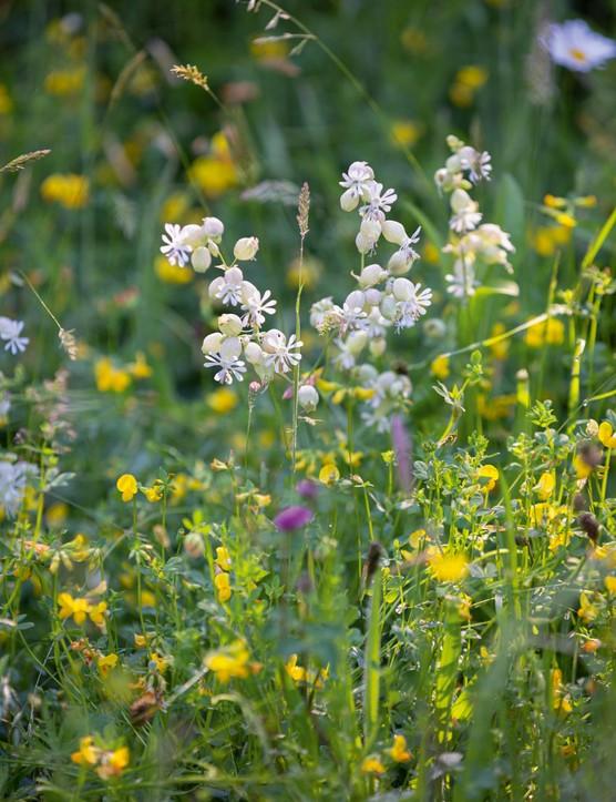 White bladder campion and bird's foot trefoil enjoy the meadow's light, sandy soil.