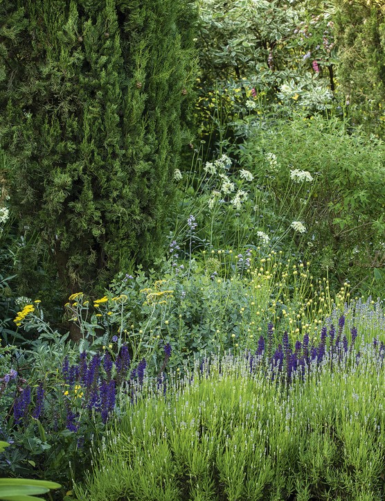 Against a backdrop of clipped box and columns of mature cypress, the ever-enlarging beds in the Swimming Pool Garden are filled with lavender and the deep-purple Salvia x sylvestris 'Mainacht', which contrasts with zingy, yellow Achillea 'Moonshine' and the pale daisies of Cephalaria gigantea, waving on their wiry stems.