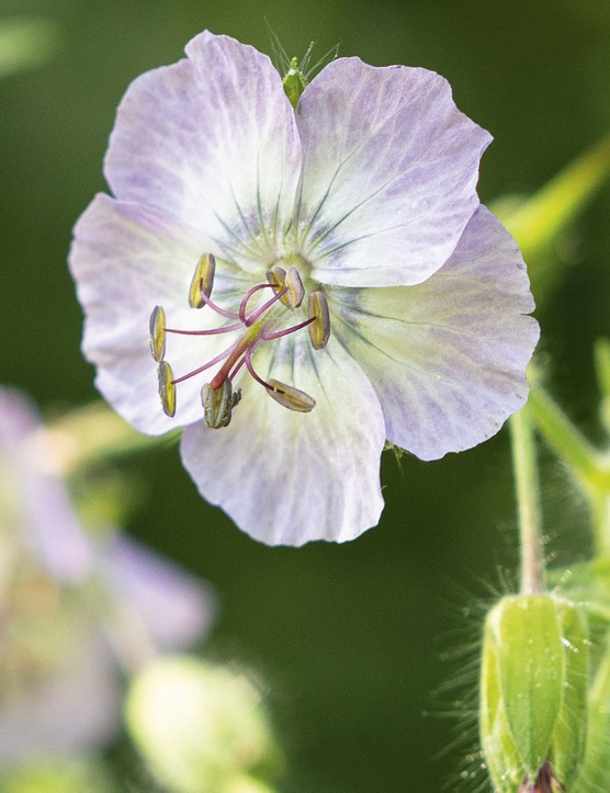 Geranium phaeum var. lividum 'Majus'