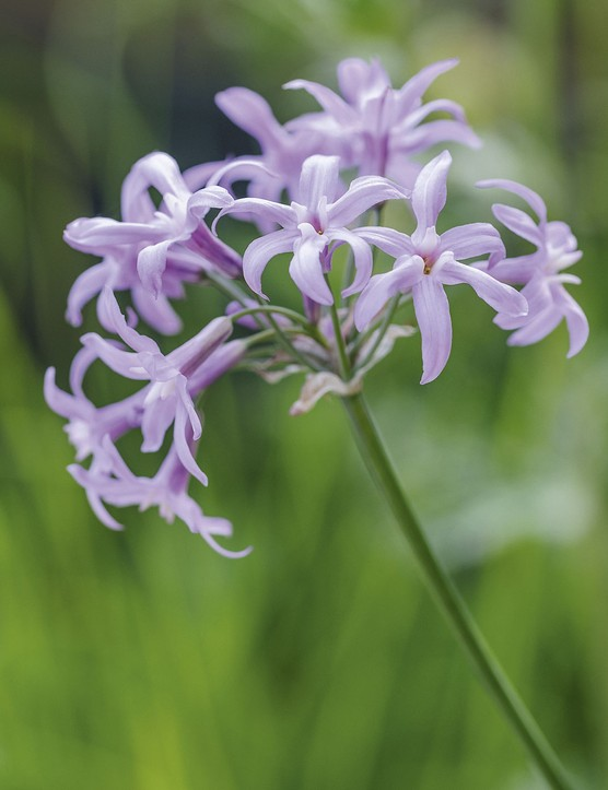 Tulbaghia 'John May's Special'