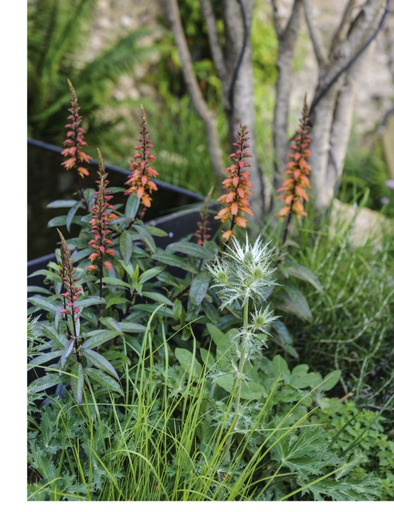 Evergreen Trachelospermum jasminoides