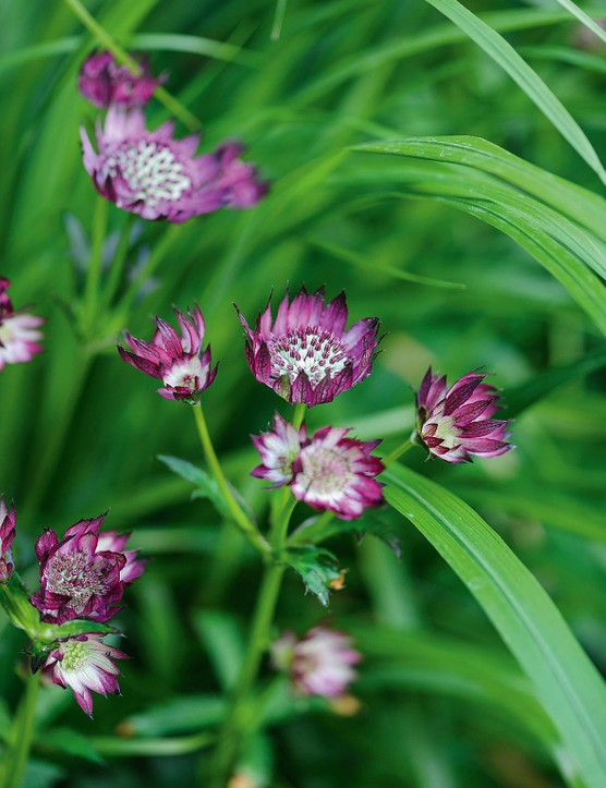 The feathery blooms of Astrantia major 'Claret'.