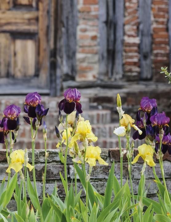 Benton End in Suffolk, where the artist and gardener Cedric Morris and his partner Arthur Lett-Haines moved in 1940, is where Morris bred many of his beautiful and painterly coloured bearded irises