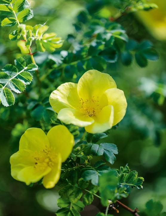 Rosa 'Helen Knight'. This pretty and vigorous R. ecae hybrid rose makes a substantial, prickly shrub with delicate, pinnate foliage. The gleaming, shyly scented, canary-yellow blooms are held in small clusters and are produced along with the new apple-green foliage. 2.5m. RHS H6.