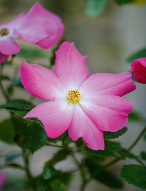 Rosa Summer Breeze (= 'Korelasting'). An easy-to-grow rose that throws hot-pink, medium-sized flowers all summer atop a foil of apple-green foliage. It can be trained against a wall or grown up through a small tree. Prune the oldest wood in late winter to encourage vigour. 4m. RHS H6.