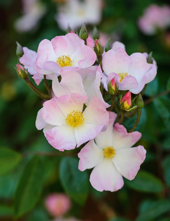 Rosa 'Francis E Lester'. A beautiful, climbing, hybrid musk rose that flowers in early summer. It produces large trusses of scented, overlapping, pale-pink flowers with showy yellow stamens. Flowers fade to white with age. It is good for cutting and makes small orange hips in winter. 4-5m. AGM. RHS H6.