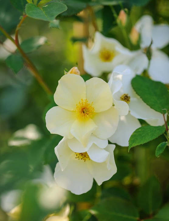 Rosa Kew Gardens (= 'Ausfence'). A well-behaved shrub rose that holds its flowers in small, neat clusters just proud of the foliage. Flowers open a clotted-cream colour, with a central fuzz of golden stamens, and fade to pure white. Will bloom all summer. 1.2m. AGM. RHS H6.