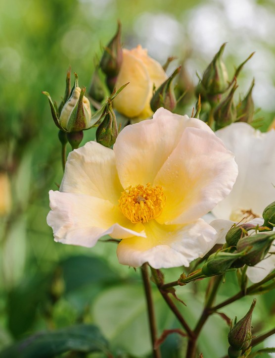 Rosa 'Sally Holmes'. A large, free-flowering shrub that produces sumptuous panicles of blush-white flowers all summer. Deadheading will speed up repeat flowering and keep the display tidy. Generally trouble free, and with little scent – more a feast for the eyes than the nose. 2m. AGM. RHS H6.