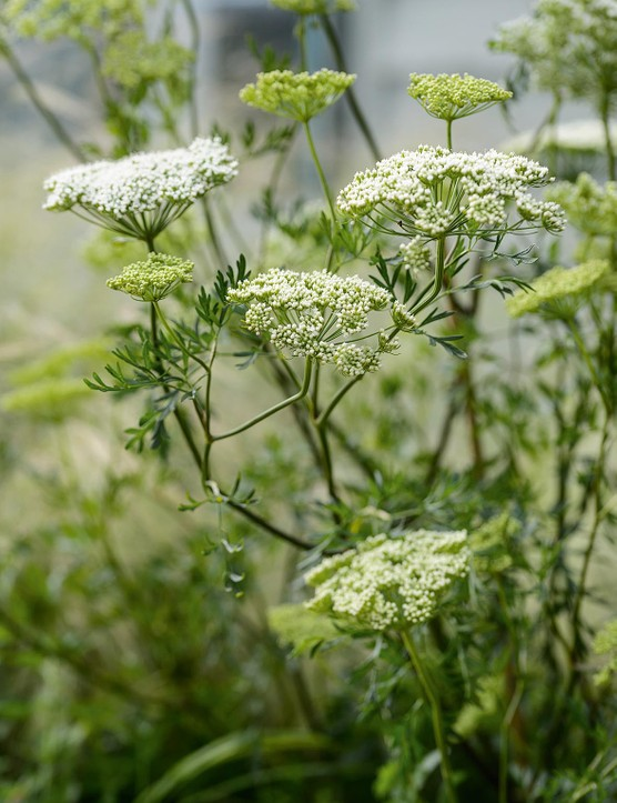 Cenolophium denudatum. In full sun or partial shade, this glamorous umbel has fern-like foliage and masses of white flowerheads that are a magnet for bees, butterflies and other beneficial insects from July to October. 1m. AGM. RHS H6.