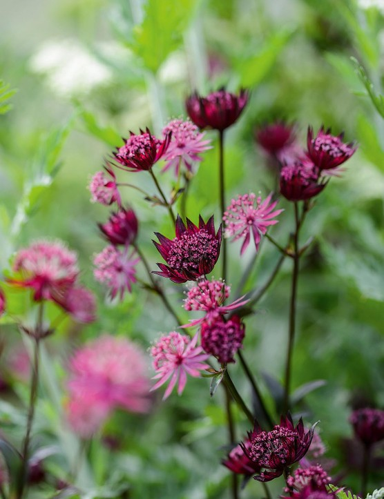 Astrantia 'Ruby Star'. A particularly rich ruby-red cultivar that holds its colour well in dappled shade. Although it prefers a rich soil, it will tolerate drier conditions and flowers from late spring right through until the autumn. 60cm. RHS H7.