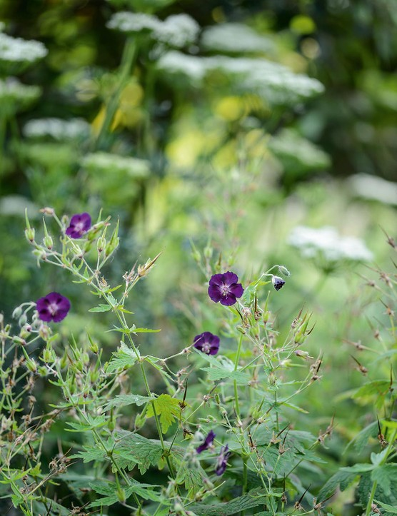 Geranium phaeum 'Raven'. Covered in inky, deep-purple flowers in May and June, this hardy geranium prefers a well-drained spot and will happily tolerate a fair degree of shade. The fresh, green foliage forms useful groundcover. 75cm. RHS H7.
