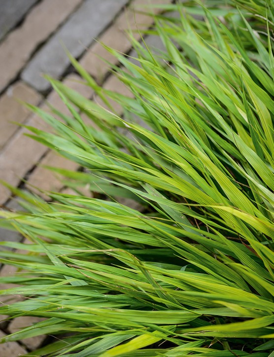 Hakonechloa macra. A deciduous, perennial grass that looks wonderful in mass plantings. The bright-green leaves develop russet-red tints in autumn then dry to an attractive tawny-brown and continue to look good throughout the winter. 50cm. AGM. RHS H7, USDA 5a-9b.